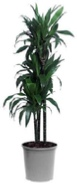 dracaena-compacta-character-office-plant
