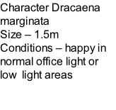 Character Dracaena marginata Size – 1.5m  Conditions – happy in normal office light or low  light areas