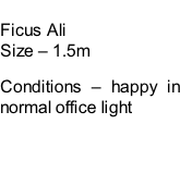 Ficus Ali Size – 1.5m  Conditions – happy in normal office light
